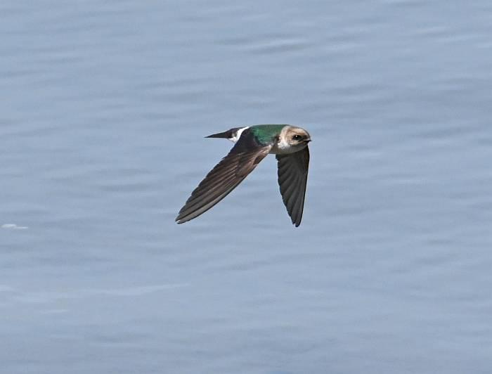 violet green swallow surrey bc
