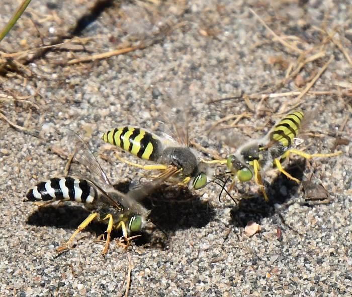 sand wasp deas island bc