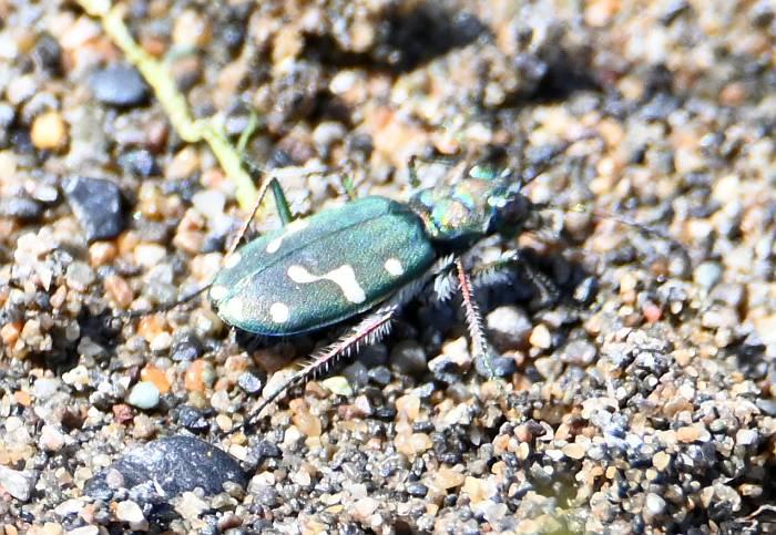 western tiger beetle yvr