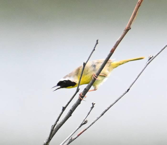 common yellowthroat pemberton bc