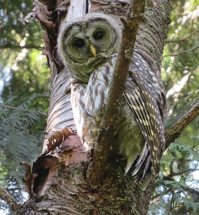 barred owl burnaby bc