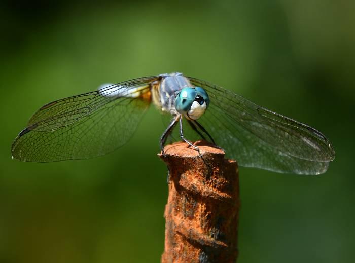 dragonflies deer lake burnaby bc