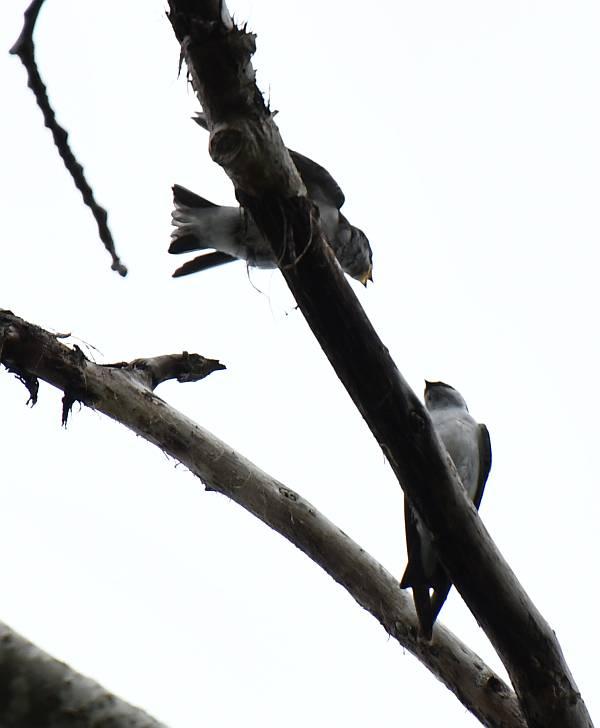 tree swallows surrey bc