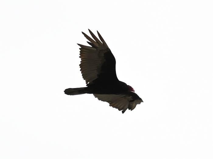 turkey vulture burnaby bc