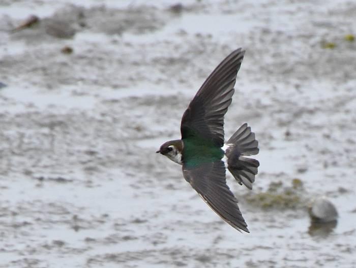 violet green swallows surrey bc