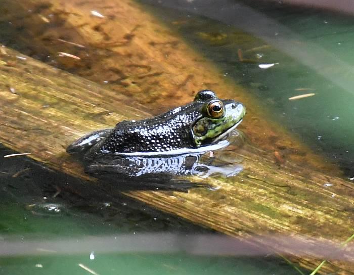 bullfrogs mundy park coquitlam bc