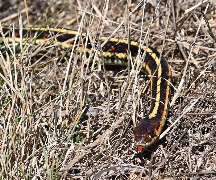 garter snake fraser foreshore park burnaby bc