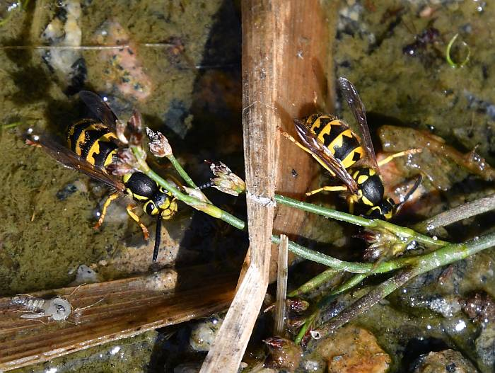 wasps drinking surrey bc