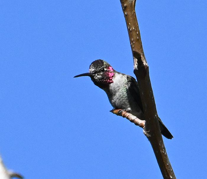 annas hummingbird fraser foreshore burnaby bc