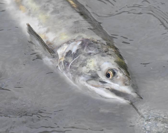 pink salmon spawning cheakamus squamish bc