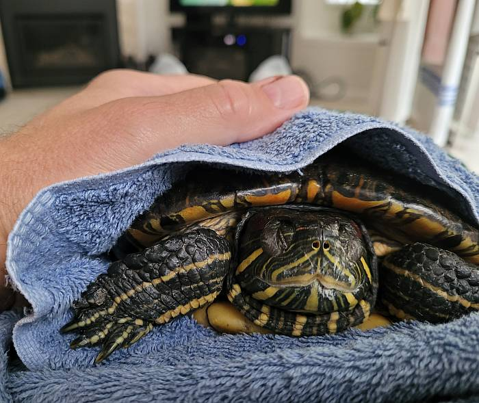 midori the turtle falling asleep