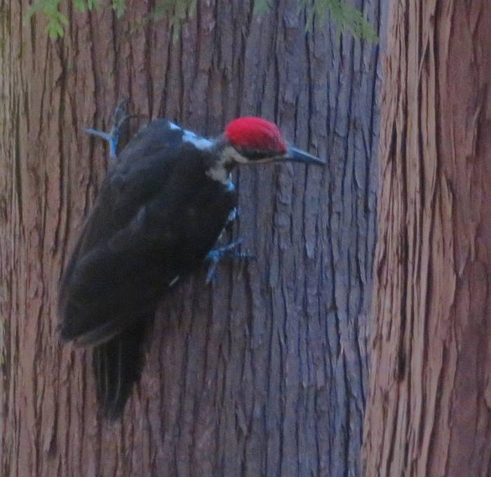 pileated woodpecker byrne creek burnaby bc