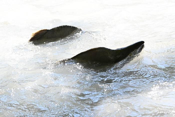 pink salmon spawning cheakamus river squamish bc