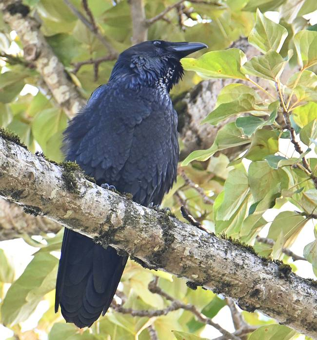 common raven fraser foreshore burnaby bc