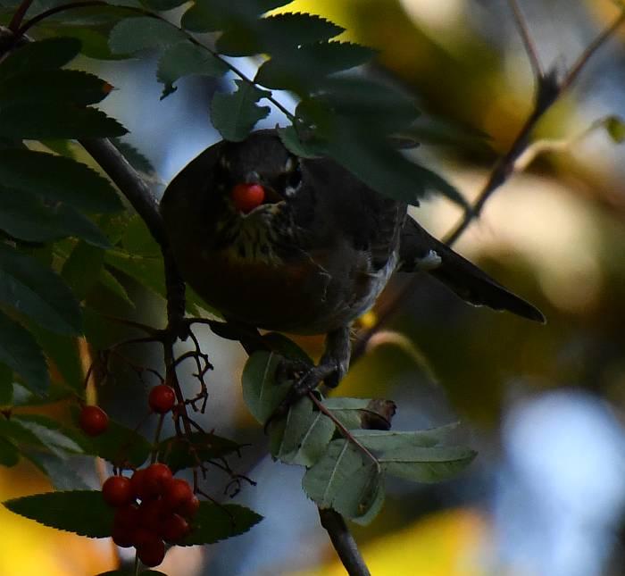 robins eat berries burnaby bc