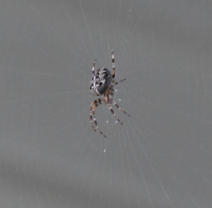 orbweaver spider burnaby bc