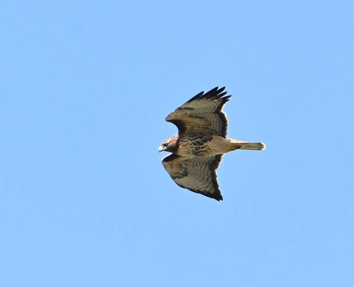 red-tailed hawk mcdonald beach yvr