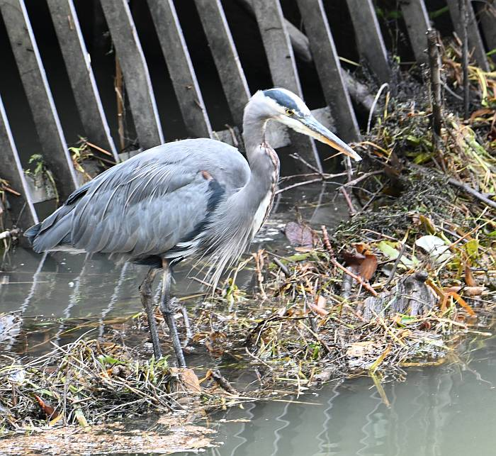 great blue heron burnaby bc