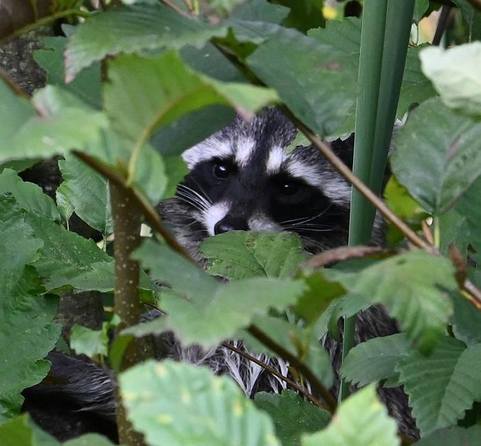 raccoon burnaby bc