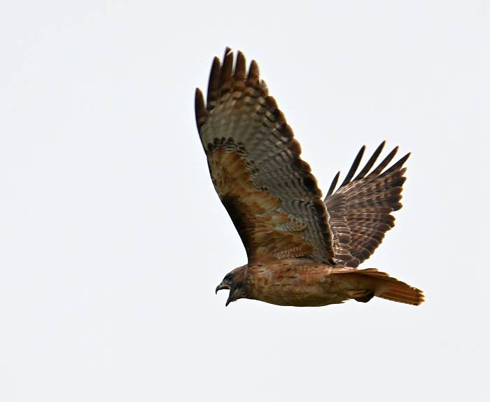 red-tailed hawk burnaby bc