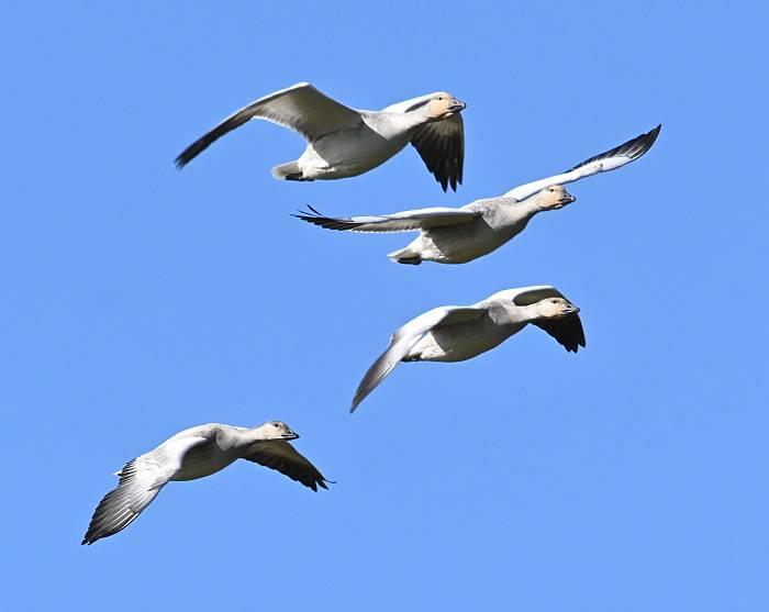 Snow Geese Iona Beach YVR